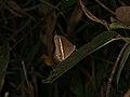 Mycalesis sp. (40226927085).jpg