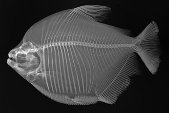 Mylossoma duriventre - X-ray image