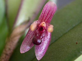 Myoxanthus seidelii - Image: Myoxanthus seidelii