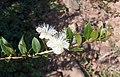 Myrtus communis2.jpg