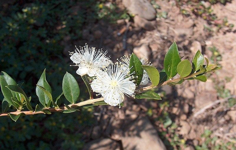 Fleur blanche myrte