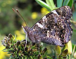 New Zealand red admiral - Wikipedia