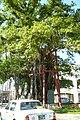 Nago Banyan tree.jpg