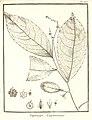 Napimoga guianensis Aublet 1775 pl 237.jpg