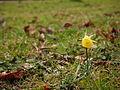 Narcissus bulbocodium citrinus 03.jpg