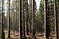 Nationalpark Harz - Wald am Brocken (3).JPG