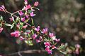 Native Rose - Boronia serrulata (7970091508).jpg