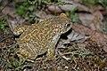Natterjack Toad (Epidalea calamita) (7557522306).jpg
