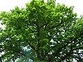 Naturdenkmal OS 00136 Eiche Neuenkirchen Melle Datei 8.jpg