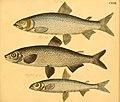 Naturgeschichte in Bildern mit erläuterndem Text (Taf. CXXVI) (6058680971).jpg