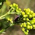 Neacoryphus bicrucis - Whitecrossed seed bug.jpg
