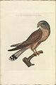 Nederlandsche vogelen (KB) - Falco tinnunculus (306b).jpg