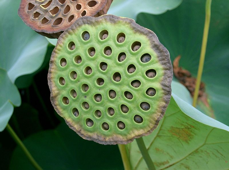 Lotus care growing the sacred lotus in your pond carefully lotus seed pod mightylinksfo