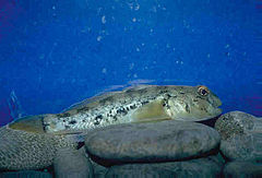 Neogobius melanostomus on rocky bottom.jpg