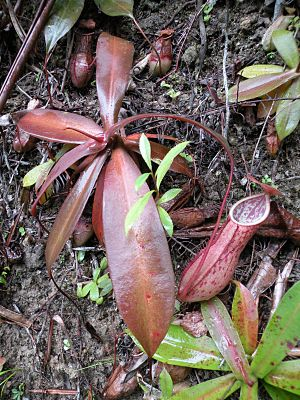 Nepenthes benstonei