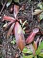 Nepenthes benstonei12.jpg
