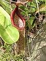 Nepenthes maxima Sulawesi6.jpg