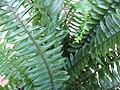 Nephrolepis cordifolia 02.jpg
