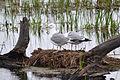 Nesting Herring Gulls (Larus smithsonianus) (15718359408).jpg