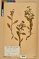 Neuchâtel Herbarium - Borago officinalis - NEU000020584.jpg