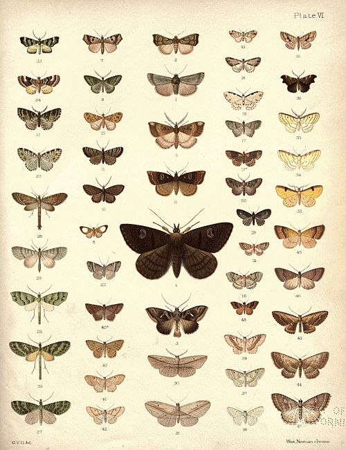 New Zealand Moths and Butterflies (1898) 06.jpg