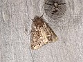 Noctuidae sp. (36694047460).jpg
