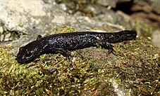 A small, black newt without gills or crest on moss