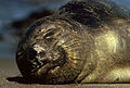 Northern Elephant Seal.jpg