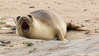 Northern elephant seal in Año Nuevo State Park-2364.jpg