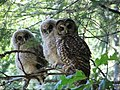 Northern spotted owl (14906620073).jpg