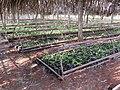 Nursery of young tea plants on Ndawara tea plantation (2) (cropped).JPG