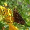 Nyctelius nyctelius agari^ Violet-banded Skipper. - Flickr - gailhampshire.jpg