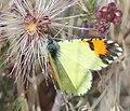 ORANGETIP, PIMA DESERT (Anthocharis cethura pima) (1-20 14) circulo montana, patagonia lake ranch estates, scc, az -01 (12675982143).jpg