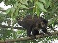 O Macaco-prego, um dos animais do Parque Nacional da Tijuca !.jpg