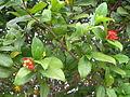 Ochna serrulata Penang Dec 2006 001.jpg