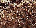 Odontotermes badius, a, Schanskop.jpg