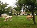 Oisemont, Somme, Fr, élevage bovin.jpg