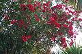 Oleander 1 2013-07-10.jpg