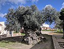 Olive tree of Vouves.jpg