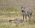 One zebra watches as another rolls in the mud (42767973690).jpg