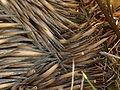 Onkapringa River NP echidna spines P1000603.jpg