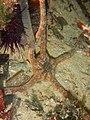 Ophioderma longicauda 13693528.jpg