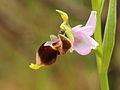 Ophrys Scolopax 006.JPG