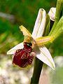 Ophrys panormitana. Sentiero Alpe Ramosa - Bosco Ficuzza. 18 Marzo 2007 (7).jpg
