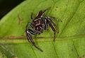 Opisthoncus mordax (14331708469).jpg