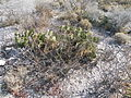Opuntia microdysis (5691313518).jpg