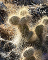 Opuntia polyacantha var erinacea 4.jpg