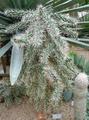 Opuntia tunicata.png