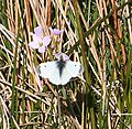 Orange Tip Butterfly (Anthocharis cardamines) - geograph.org.uk - 422239.jpg