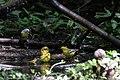 Orchard Oriole (female), Blue-winged Warbler & Northern Parula (bathing) Boy Scout Woods High Island TX 2018-04-11 12-51-48 (39993391350).jpg